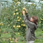 les pommes 4